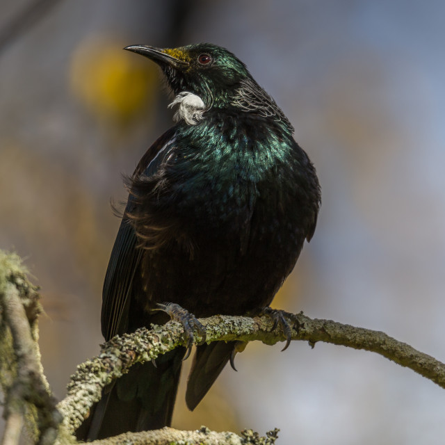 """The Tui (Prosthemadera novaeseelandiae) An endemic bird of New Zealand"" stock image"