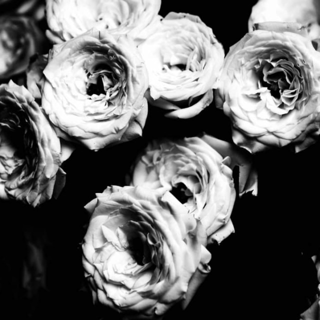 """White roses."" stock image"