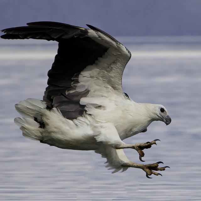 """White bellied sea eagle"" stock image"