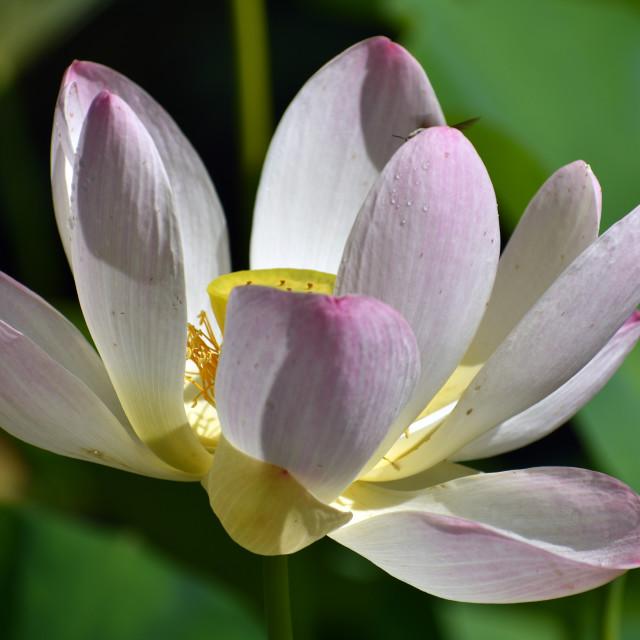 """'Charles Thomas' flower"" stock image"