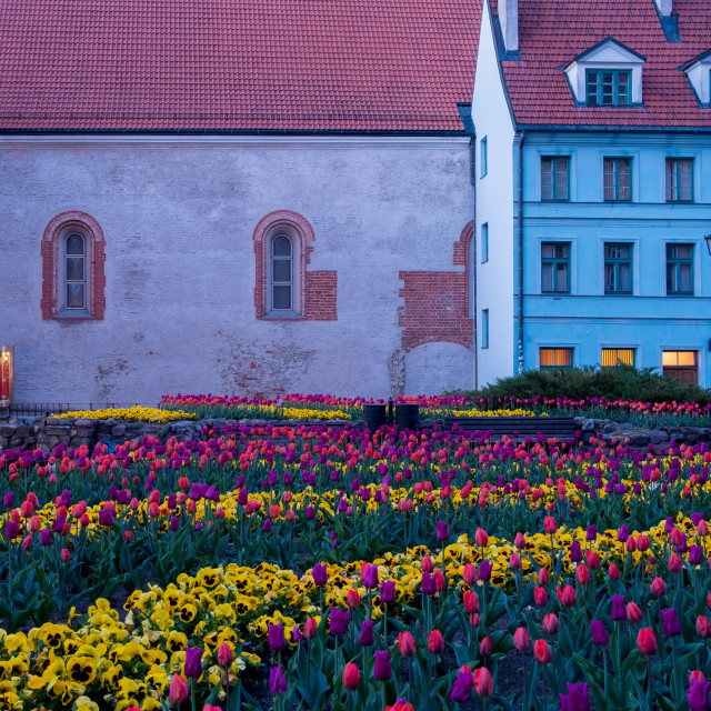 """""""Tulips in Riga Old Town, Latvia"""" stock image"""