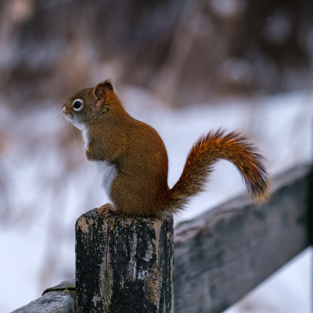 """""""Profile of red squirrel on wooden fence in winter"""" stock image"""