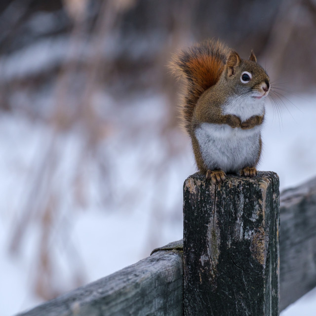 """""""Red and white squirrel on fencepost in winter"""" stock image"""