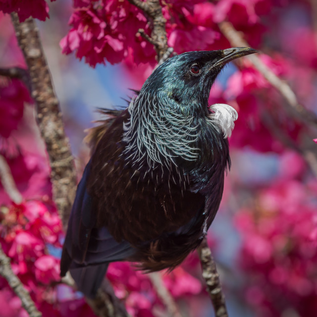 """""""The Tui endemic passerine bird of New Zealand. In a cherry tree"""" stock image"""