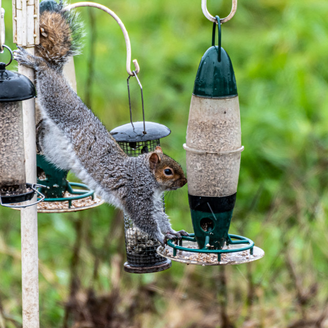 """""""Squirrel stretched on bird feeder"""" stock image"""