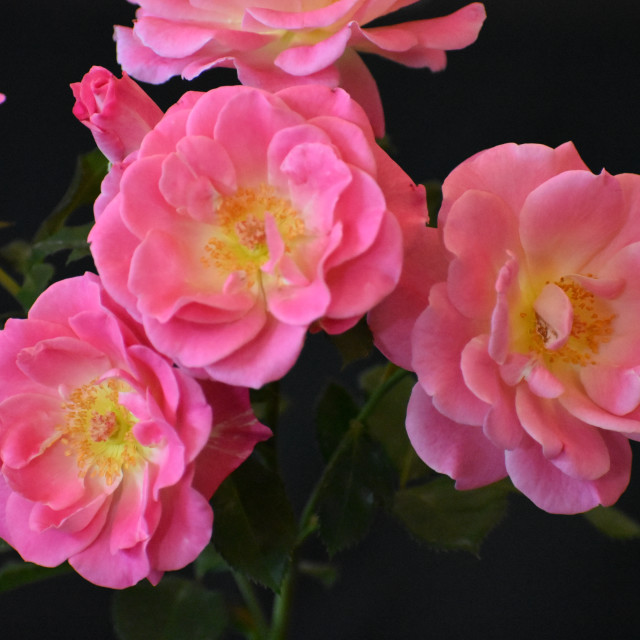 """""""Pink and Yellow Roses"""" stock image"""