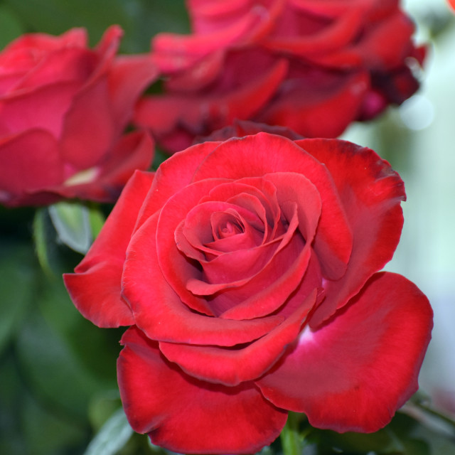 """""""Red Velvet Roses"""" stock image"""