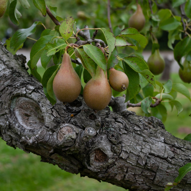 """""""Ripe pears growing on the pear tree"""" stock image"""