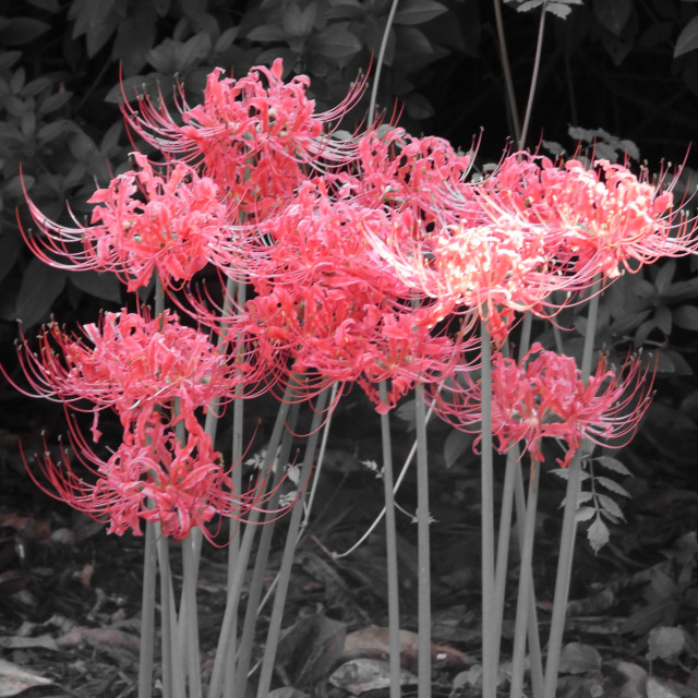"""""""Slash of Color - Red Spider Lily"""" stock image"""