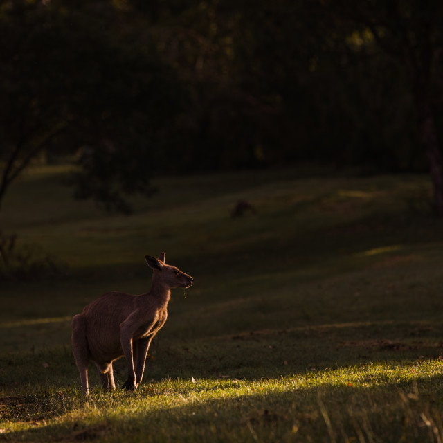 """Kangaroo Way 0310"" stock image"