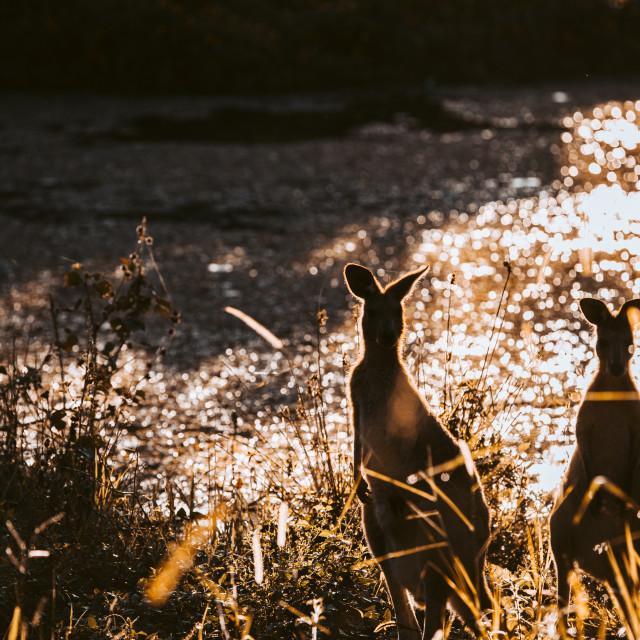"""Kangaroo Way 0311"" stock image"