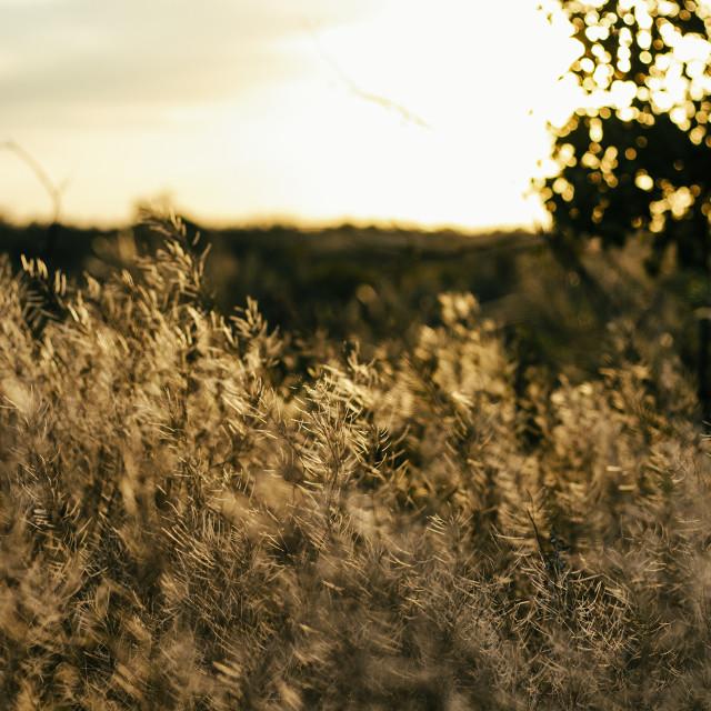 """Prairie Grass"" stock image"