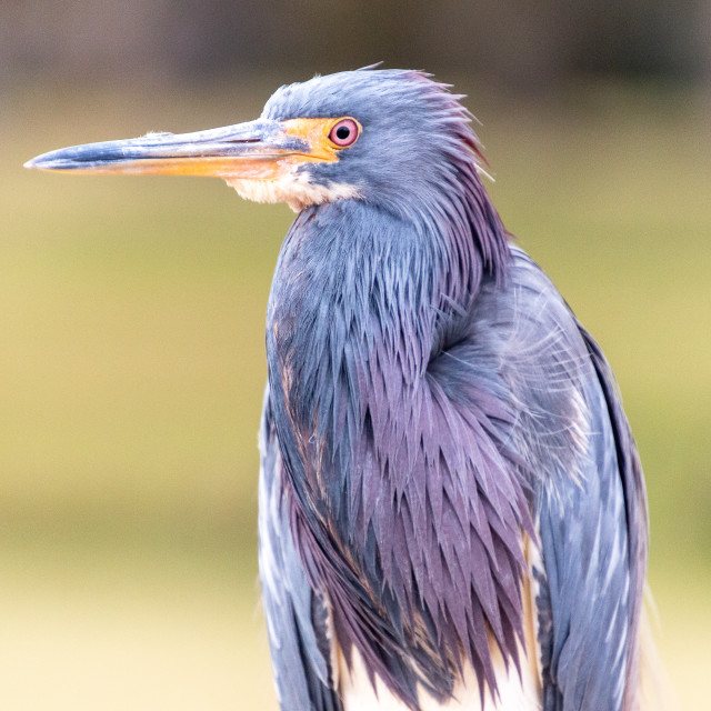 """A Young Blue Heron Teenage"" stock image"