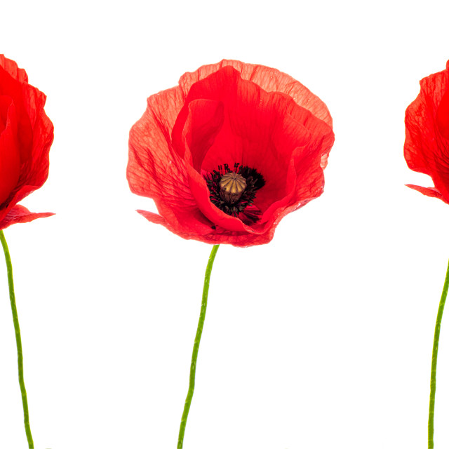 """Three Poppy Flowers on white"" stock image"