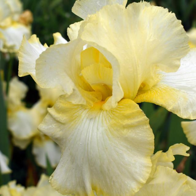 """Pale Yellow Iris"" stock image"