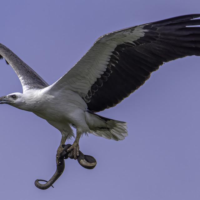 """White bellied sea eagle caught a sea snake"" stock image"