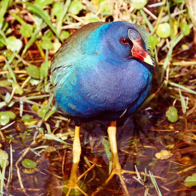 """Purple Gallinude"" stock image"