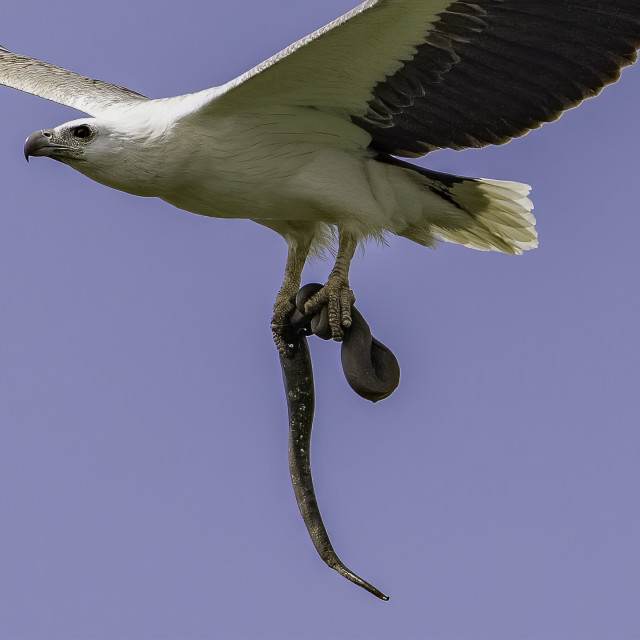 """""""Eagle with snake in talons"""" stock image"""