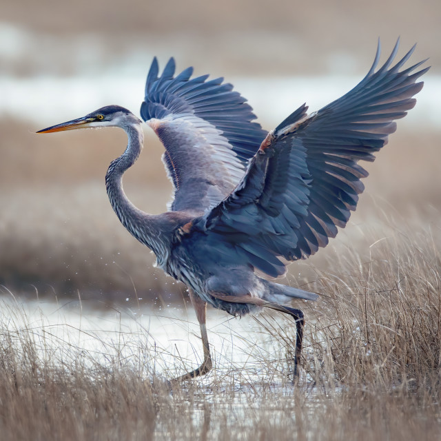 """Great Blue Heron 2"" stock image"