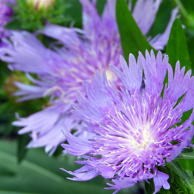 """Purple Stokes Aster"" stock image"