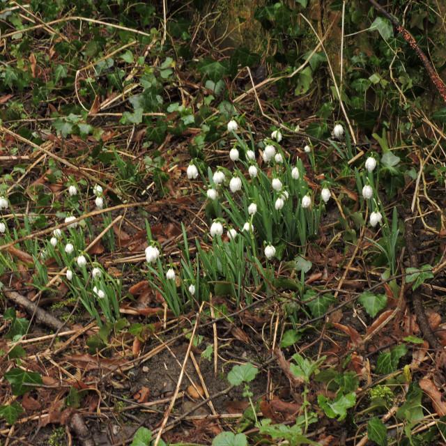 """""""Snowdrops in Sudbury Derbyshire February 2021"""" stock image"""