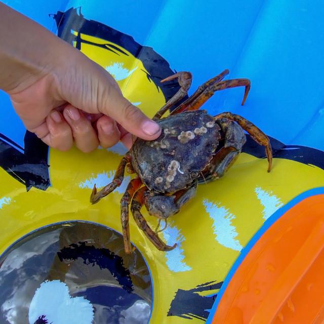"""Cromer crab"" stock image"