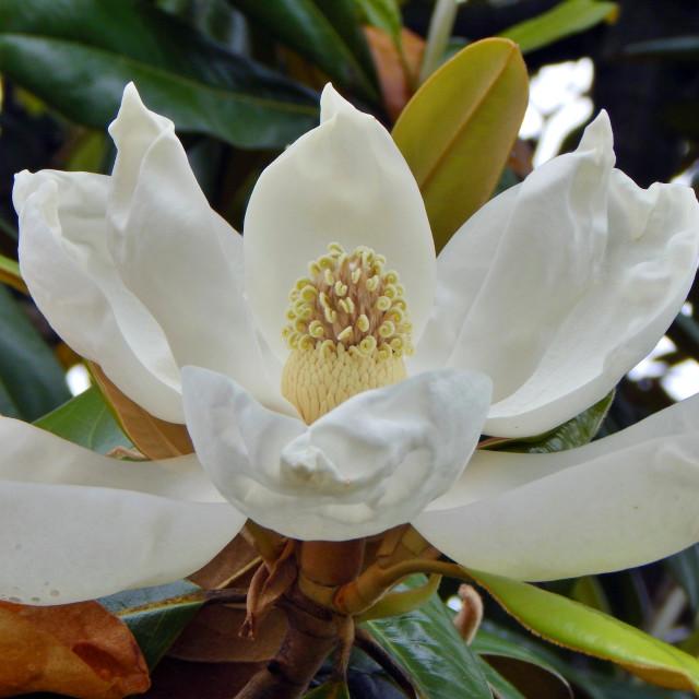 """Full Magnolia Blossom"" stock image"