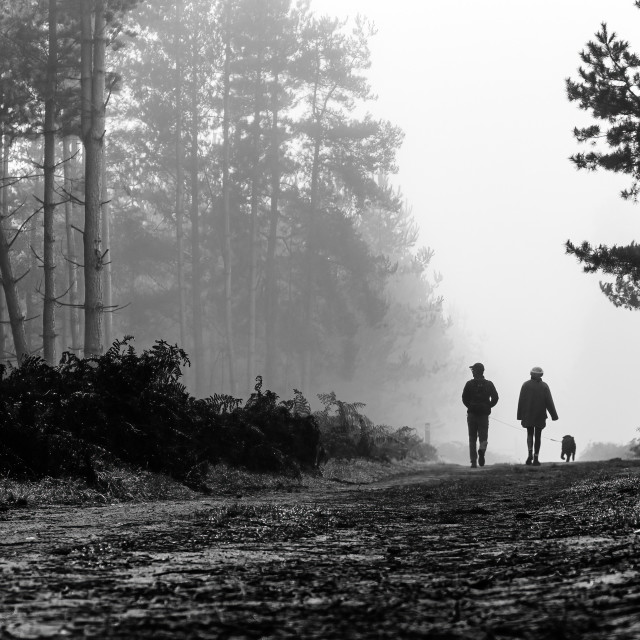 """""""An early morning dog walk in a foggy Thetford Forest."""" stock image"""