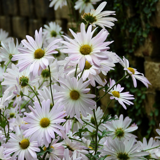 """""""White Daisies with Stone Wall"""" stock image"""