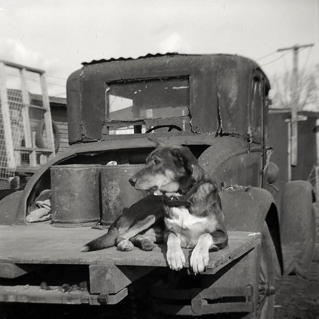 """""""Dog on Flatbed 1940"""" stock image"""