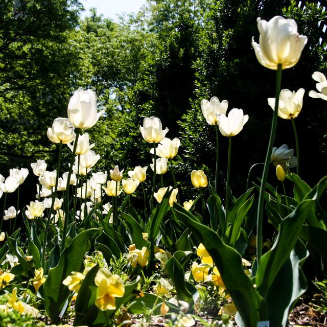 """Tall Tulips"" stock image"