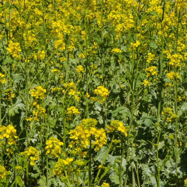 """Yellow Rod Flowers"" stock image"