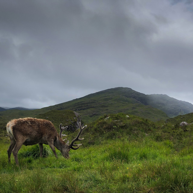 """""""Stag in the Highlands of Scotland"""" stock image"""