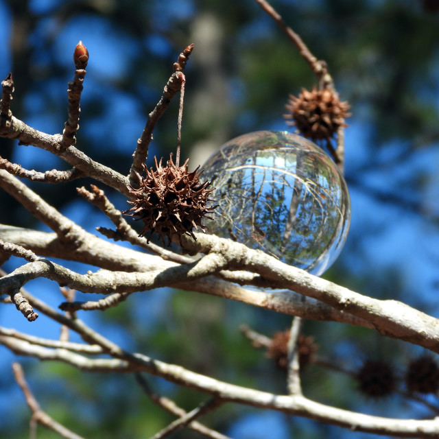 """""""Sweet Gum Tree and Crystal Ball"""" stock image"""