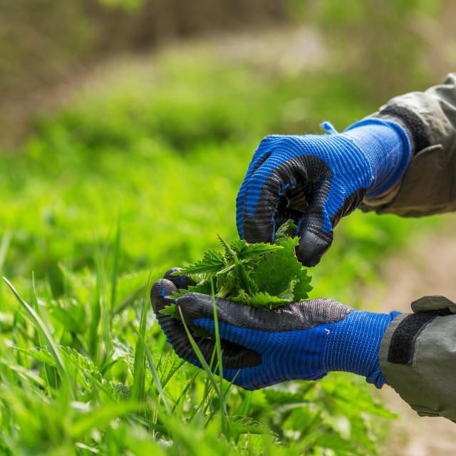 """""""Farmer lady picking nettles."""" stock image"""