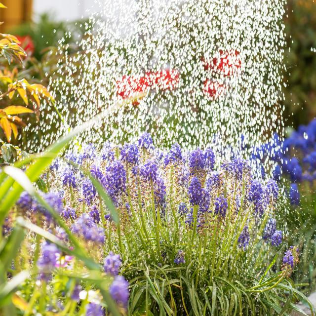 """""""Watering flowers in garden."""" stock image"""
