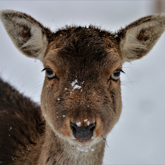 """""""Female Fallow Deer in the snow"""" stock image"""