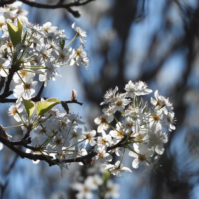 """White Springtime Tree Blossoms"" stock image"
