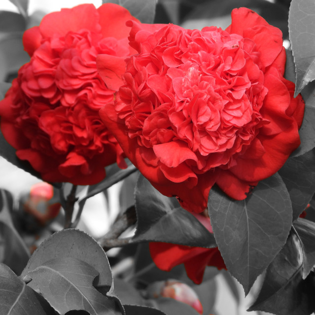 """""""Splash of Color: 2 Red Double Camellia"""" stock image"""