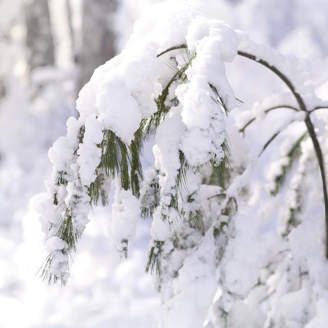 """Snowy Branch"" stock image"