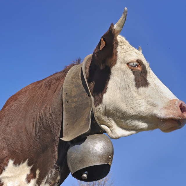 """""""face of alpine brown and white cow wearing a bell on blue sky ba"""" stock image"""