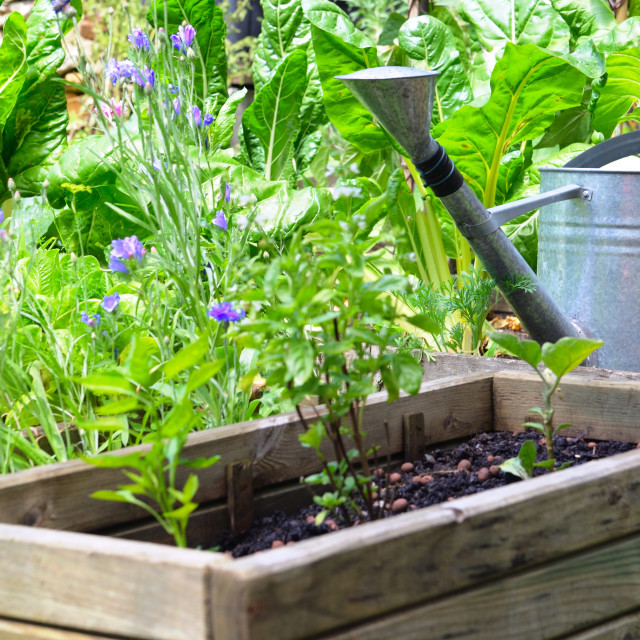 """""""metal watering can in a vegetable garden with wooden container"""" stock image"""