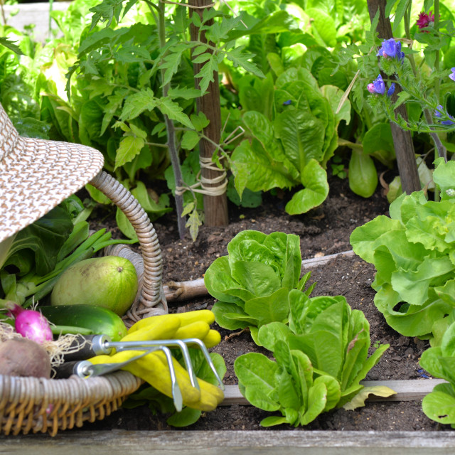 """""""fresh vegetables in a wicker basket with hat placed in vegetable garden"""" stock image"""