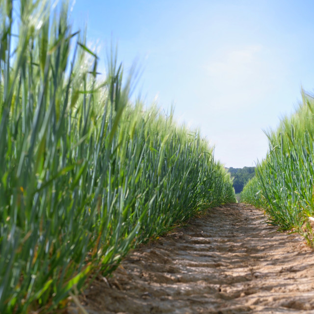 """""""dirt path crossing a wheat field growing under blue sky in spring"""" stock image"""
