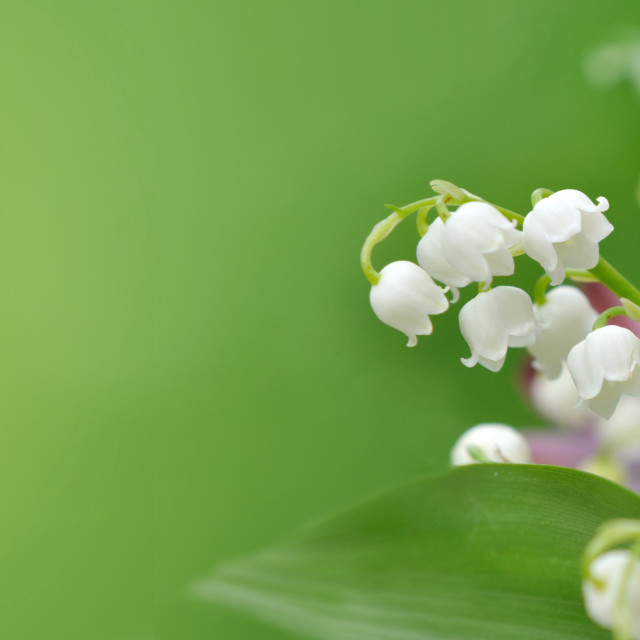 """""""bouquet of freshness flowers with lily of the valley blooming on green background in panoramic view"""" stock image"""