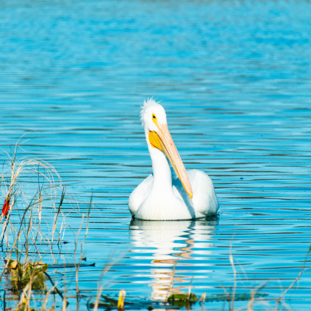 """The White Pelicans Are Back In Town"" stock image"