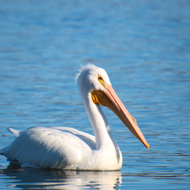 """WHITE PELICAN HIGH RESOLUTION"" stock image"