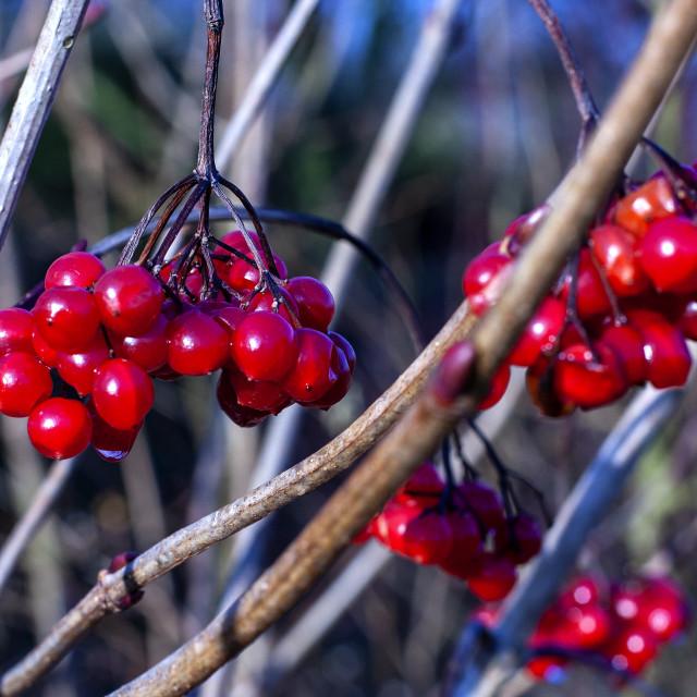 """Juicy Berries"" stock image"