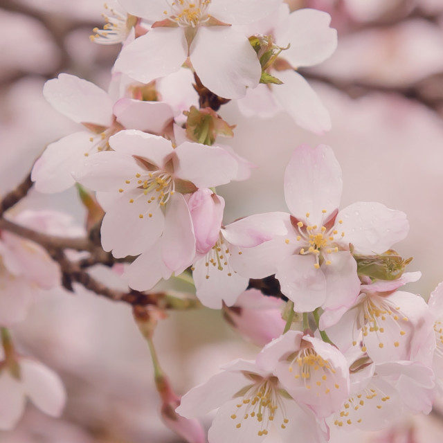 """""""Pink Cherry Blossoms"""" stock image"""