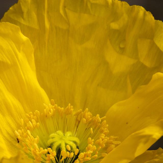 """Yellow Icelandic Poppy - Extreme closeup"" stock image"